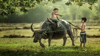 Hoi-An-riding-buffalo