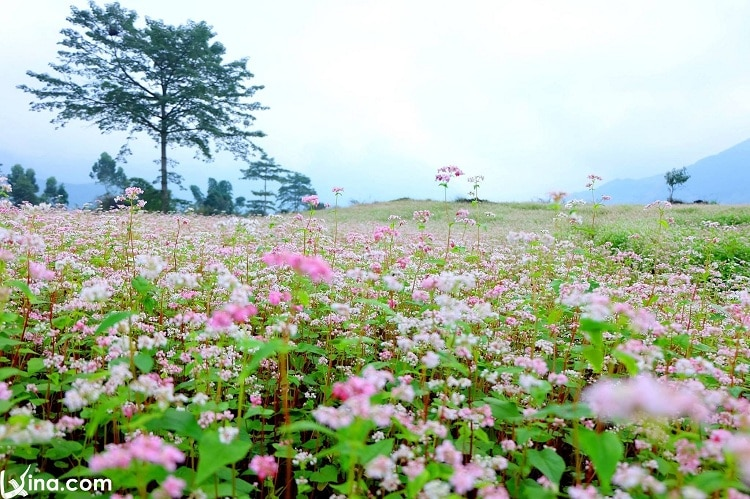 the circuit triangle flower festival in ha giang