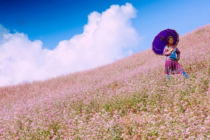 ha giang circuit triangle flower festival