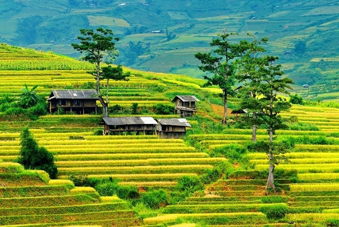 mu cang chai golden rice fields - lim mong village