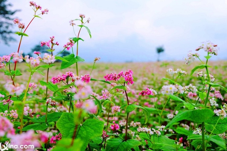 Don't Miss The Circuit Triangle Flower Festival In Ha Giang (Hà Giang, Vietnam)