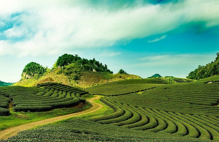 Cau Dat Tea Hill: A Peaceful Destination In Da Lat, Vietnam