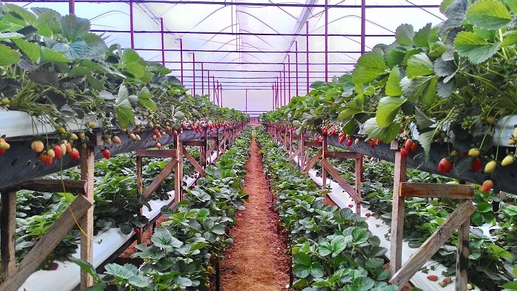 The Beauty Of Da Lat Strawberry Farms In Vietnam: Too Sweet To Be In