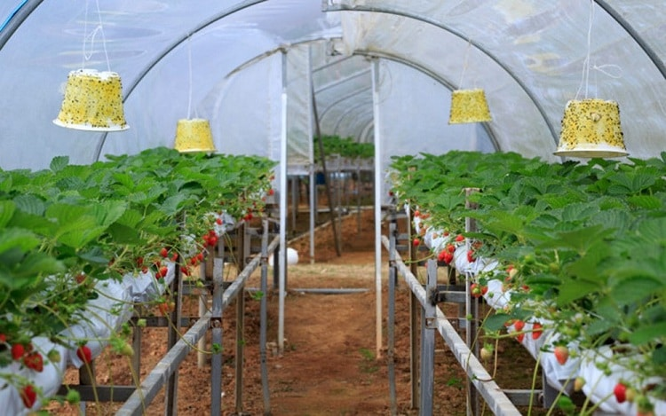 famous da lat strawberry farms - hiep luc (hiệp lực) strawberry farm