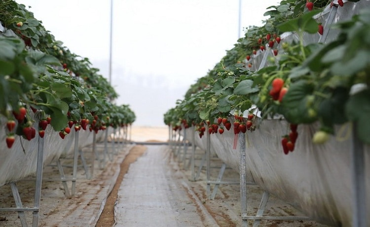 famous da lat strawberry farms - nguyen lam thanh strawberry farm