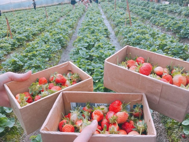 famous da lat strawberry farms - uncle hung's strawberry farm