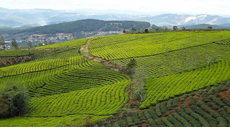 cau dat tea hill in vietnam
