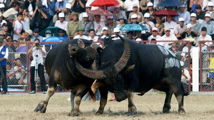 vietnam photos - do son buffalo fighting festival