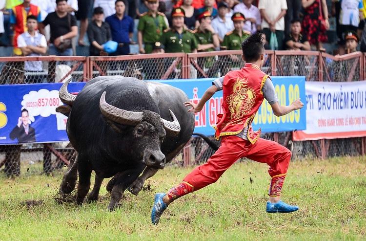 Do Son Buffalo Fighting Festival – The Unique Festival In Hai Phong