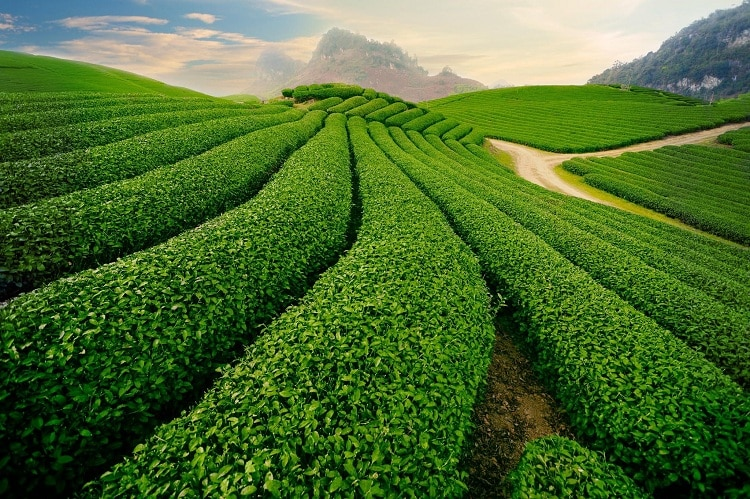 Tea Festival – The Unique Cultural Event In Da Lat, Vietnam