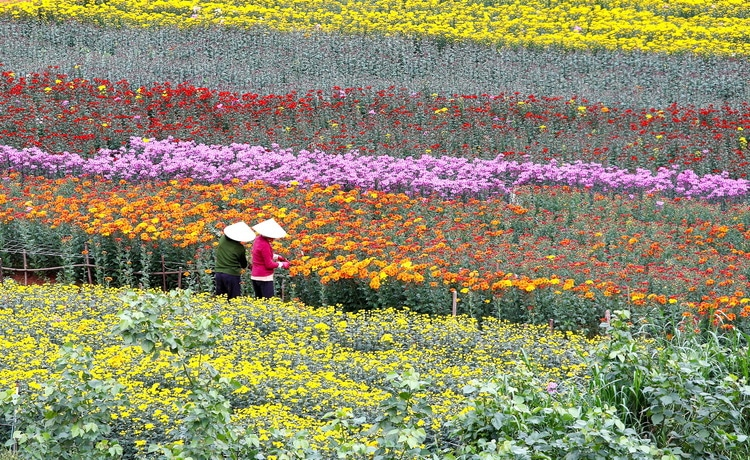 Ba Bo (Bà Bộ) Flower Village with Full Bloom in Can Tho, Vietnam