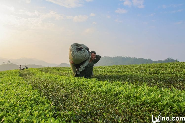 vietnam photos - long coc tea hill photos