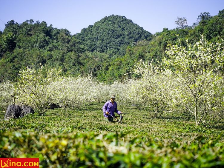 vietnam photos - photos of plum blossom season in moc chau