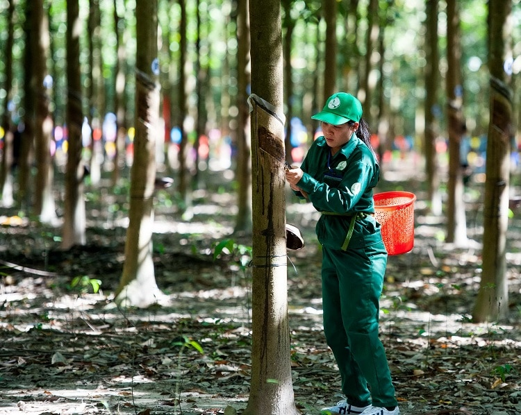 Rubber Group Plans To Build Three Processing Plants In Northern Region